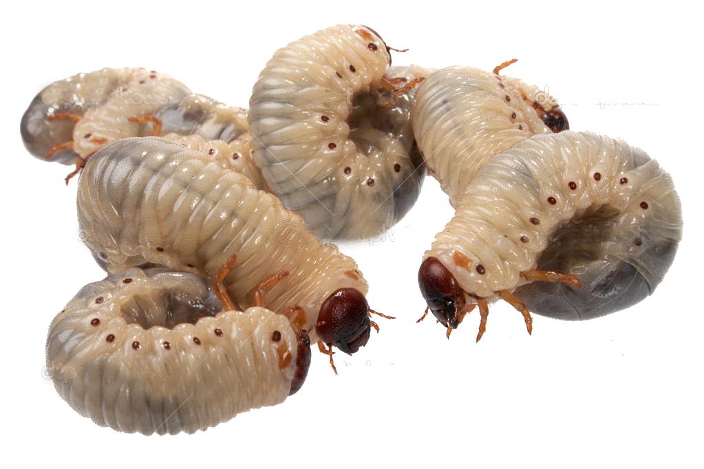 Caring For Rhinobeetle Larvae